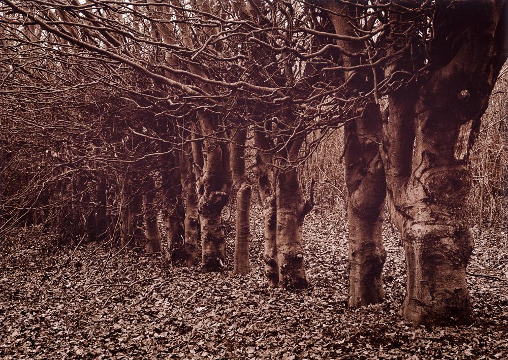 Beech Hedge, Rivers Nursery