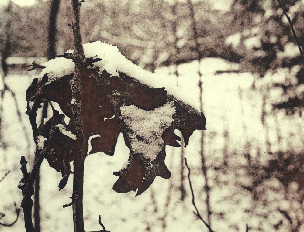Leaf in snow, Weeping Ash garden